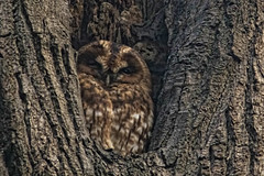 Hello is it me you are looking for? (wimvandemeerendonk, off on a trip!) Tags: tawnyowl bird birds animal tree vogel nature forest minoltaapo200 netherlands nederland outdoors outdoor park sony trees thenetherlands wimvandem wildlife ngc dmslair greatphotographers birdwatcher simplysuperb abigfave