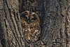 Hello is it me you are looking for? (wimvandemeerendonk, back home) Tags: tawnyowl bird birds animal tree vogel nature forest minoltaapo200 netherlands nederland outdoors outdoor park sony trees thenetherlands wimvandem wildlife ngc dmslair