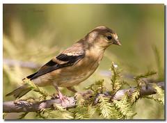 American Goldfinch -Female (Betty Vlasiu) Tags: american goldfinch female carduelis tristis bird nature wildlife