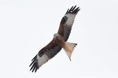 209 (robwiddowson) Tags: redkite bird raptor prey birdofprey nature wildlife photo photograph photograhy image picture robertwiddowson