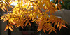 Autumn in Albuquerque, New Mexico, USA. (cbrozek21) Tags: fall autumn autumncolors leafcolors colorfulleaves yellowleaves light albuquerque