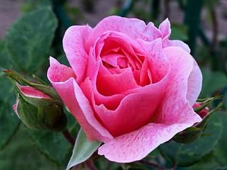 Rosa. Rose.