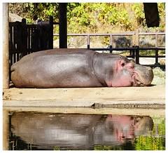 sleepy hippy (raisalachoque) Tags: seoul zoo 7dwf fauna animal hippo sleepy