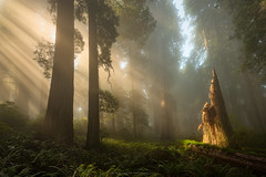 The Shining (Bob Bowman Photography) Tags: trees landscape light mist fog green stump redwoods coastal california ferns grass beams rays