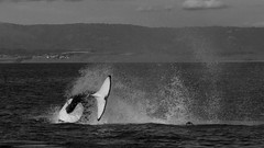 (gibbsbrian) Tags: orca killerwhale