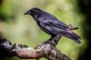 crow  -  Krähe (hansjrgenknppel) Tags: krähe natur germany deutschland nikon d hans jürgen knüppel 7100 nikkor 200500mm