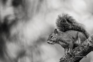 Brazilian Squirrel (Sciurus aestuans)