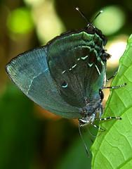 Theritas phegeus (hippobosca) Tags: butterfly lycaenidae peru theritasphegeus insect macro lepidoptera hairstreak