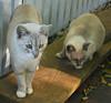 Key West (Florida) Trip 2016 0544Ri (edgarandron - Busy!) Tags: cat cats kitty kitties tabby tabbies cute feline florida keys floridakeys keywest elizabethstreet