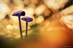 Améthystes (laurent fiol) Tags: proxi proxy amèthyste mushroom champignon sousbois forêt forest fungi