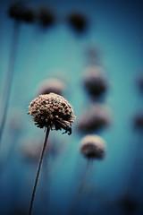Still Standing Here (Dan Haug) Tags: deadhead autumn december 2017 lomo macro xt2 xf80mmf28rlmoiswrmacro xf80mm