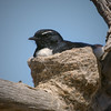 Willie Wagtail (aaardvaark) Tags: 201711021v0a1970williewagtail33x33 williewagtail rhipiduraleucophrys callumbrae cnp canberra act australia