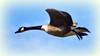 Come Fly with Me (Bob's Digital Eye) Tags: 2017 action animal bird birds birdsinflight bobsdigitaleye canadageese canon canonefs55250mmf456isstm fauna flicker flickr flight goose minnesota nature outdoor t3i wildbird wildbirds wildlife