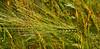 Barley's awns (МирославСтаменов) Tags: russia moscowregion barley plant cereal hordeum awn