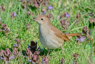 JWL7926  Nightingale..