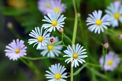 Boltonia (NaturalLight) Tags: boltonia wildflower chisholmcreekpark wichita kansas
