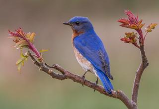 Eastern Bluebird M