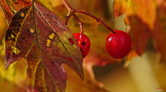 You can´t hide yourself, I see you always and everywhere (Lutz Koch) Tags: herbst autumn beere rot red elkaypics lutzkoch explore inexplore explored