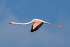 Greater Flamingo (Simon Stobart) Tags: greater flamingo phoenicopterus roseus flying ngc npc