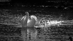 Discovering... (GComS) Tags: water birds river swans cygnes famille family noir blanc black white soleil sun reflections reflets lac lake étang pond