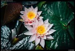 Water lilies (Falcdragon) Tags: sonyzeisssonnarfe2835mmza sonya7alpha ilce7 flower water lilly hamilton new zealand