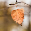 Lone Leaf. (James Thomas 10375) Tags: lone leaf macro brown decay lonely autumn water drop droplet reflection branch twig black bokeh blur canonef100mmf28lmacroisusm canon eos 80d