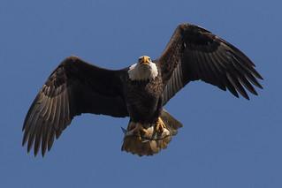 Bald Eagle at Conowingo Dam-9