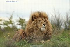 The King - Der König (Noodles Photo) Tags: lion löwe pantheraleo raubtier carnivora katze groskatze canoneos7dmarkii ef100400mmf4556lisusm yorkshirewildlifepark ywp greatbritain gb uk felidae pantherinae säugetier mammal cat