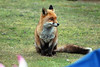 Fox (5) (John Carson Essex UK) Tags: thegalaxy thegalaxystars rainbowofnature supersix foxes ukfoxes