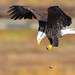 Bald Eagle was trying to eat its snack but unfortunately the snack was dropped(X7B_0040-1) (Eric SF) Tags: baldeagle eagle raptor