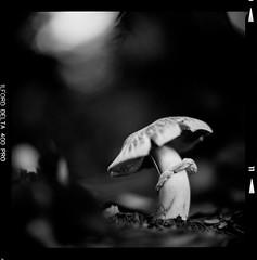 Bronica SQ-A-041-007 (michal kusz) Tags: ilford delta 400 pro 800 zenzanon 80mm green filter cokin macro ddx epson v600 bronica sqa monochrome bw blackandwhite mushrooms pushed 120 medium monochromatic