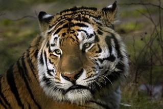 Alex der sibirische Tigermann ...... der Tagträumer....