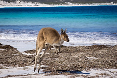 Jumping along (loveexploring) Tags: australia capelegrandnationalpark luckybay westernaustralia animal bay beach bluesea eyecontact joey jumping kangaroo marsupial seaweed water wildlife