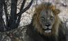 Male Lion (Mike/Claire) Tags: malelion 2016 southafrica tandatula timbavati