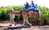 hump riders... (Stu Bo) Tags: canon camel children animal hangingoutwiththefamily pumpkinpatch sbimageworks sunlight ride