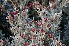 Atriplex cinerea, Grey Saltbush, Coast Saltbush, (AlfredSin) Tags: alfredsin australianflowers australianplants australiannativeplants australiannativeflowers coastalplants