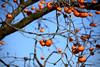 Persimmons 柿 (MelindaChan ^..^) Tags: 柿 persimmon bird fruit tree yangdong folk village 良洞村 yangdongfolkvillage 村 gyeongju skorea 韓國 慶州 fly chanmelmel mel melinda melindachan