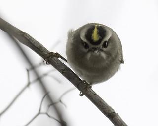 golden-crowned kinglet (f)