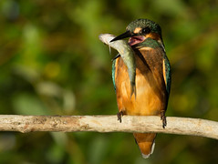 Kingfisher with Roach (michael.smith86) Tags: kingfisher alcedoatthis rutilusrutilus eating fish roach canon60d ef40056