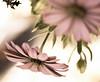 Groundless (risaclics) Tags: make me smile 50mm18macro 7dw dhahran february2016 nikond610 saudiarabia flora flowers makemesmile