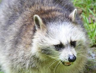 Waschbär futtert  Hühnchen. Kleiner Waschbär - Procyon lotor - small raccoon . #002 crop