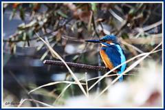Martin-Pêcheur 171203-01-RP (paul.vetter) Tags: oiseau ornithologie ornithology faune animal bird martinpêcheur alcedoatthis eisvogel kingfisher