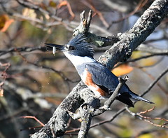 Kingfisher with a Fish (KoolPix) Tags: beltedkingfisher kingfisher bird beak feathers branches birdfeeding koolpix jaykoolpix naturephotography nature wildlife wildlifephotos naturephotos naturephotographer animalphotographer wcswebsite nationalgeographic fantasticnature amazingnature wonderfulbirdphotos animal amazingwildlifephotos fantasticnaturephotos incrediblenature naturephotographywildlifephotography wildlifephotographer mothernature