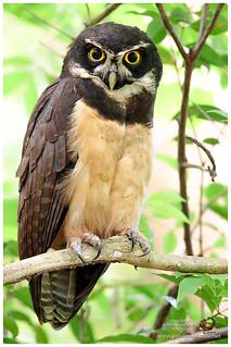 Spectacled Owl / Búho de Anteojos