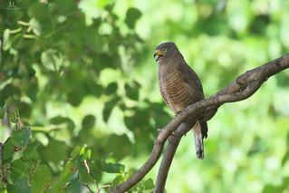 Roadside hawk - Buse à gros bec - Rupornis magnirostris