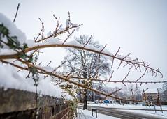 8055 (1 of 1) (sallyjane6) Tags: snow snowyday newlife buds winter bedford holly macro closeup