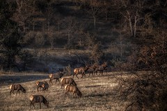 ever notice how slow females eat... or, ever notice how fast males eat... (Alvin Harp) Tags: northerncalifornia hilt baileyhill i5 elk wildlife herd mountainside december 2017 sonyilce9 fe70200mmf28 gmoss2x naturesbeauty alvinharp