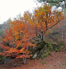 Hayedo de Montejo. (Santos M. R.) Tags: reserva biosfera sierra rincón sierradelrincón hayedo montejo hayedodemontejo otoño colores amarillo rojo marrón árbol haya madrid