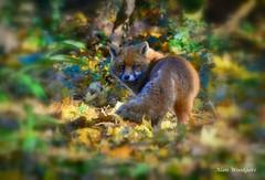 Red Fox (Vulpes vulpes) - Buckinghamshire (Alan Woodgate) Tags: fox explored uk
