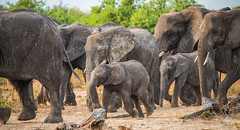 Elephant March (ShaneSinclair) Tags: elephant calf chobe river tree family herd nature park africa botswana wildlife safari animal walking outdoors travel tusk